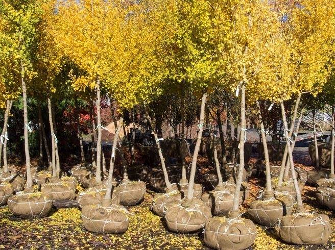 Image of Trees Ready to be Planted
